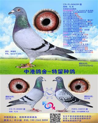 中港凡龙种鸽-289