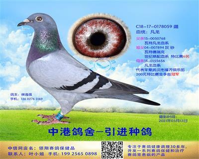 中港凡龙种鸽-059