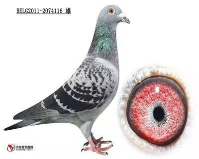 南宫堂鸽业