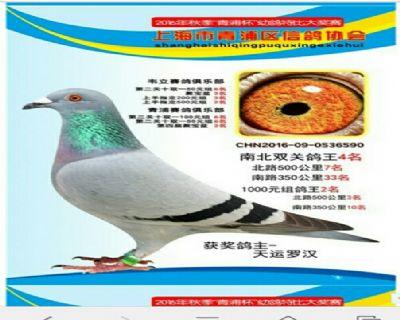 上海天运罗汉鸽业